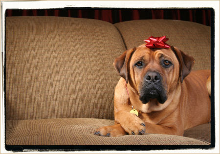 Mastiff dog Christmas image
